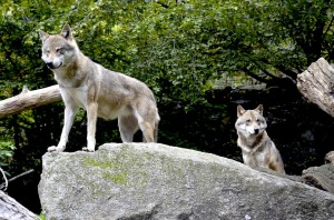 wolves-1336217_960_720